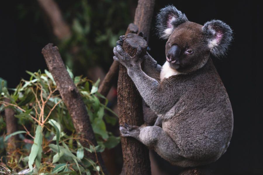 Koala on Hamilton Island, Wildlife Park