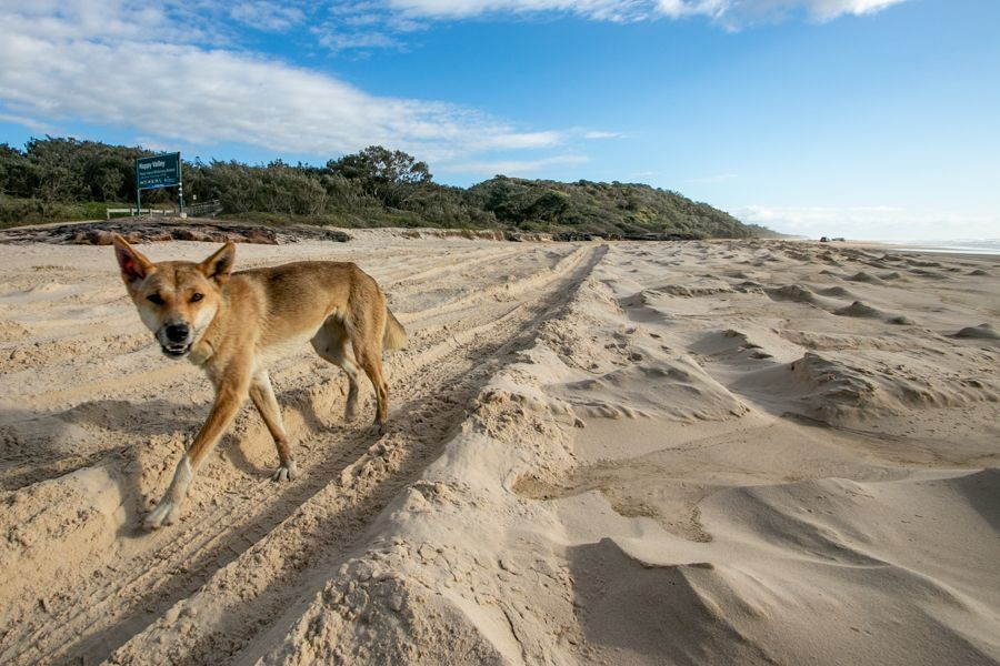 Dingo on 75 Mile beach on Fraser Island in the afternoon
