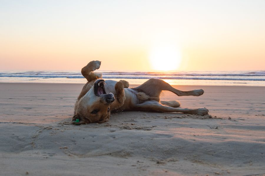 Dingo playing in the sand on 75 mile beach at sunset on Fraser Island