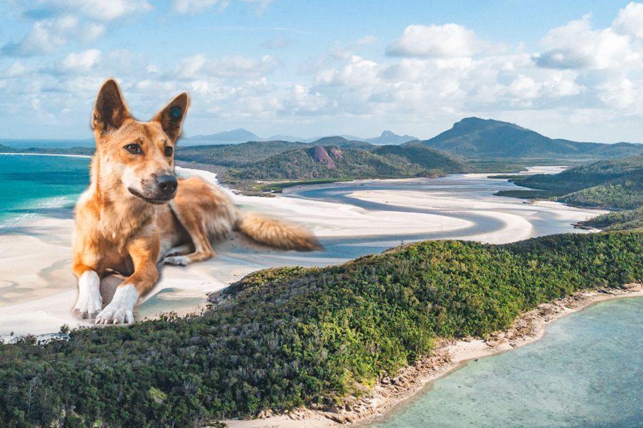 dingo on whitehaven beach