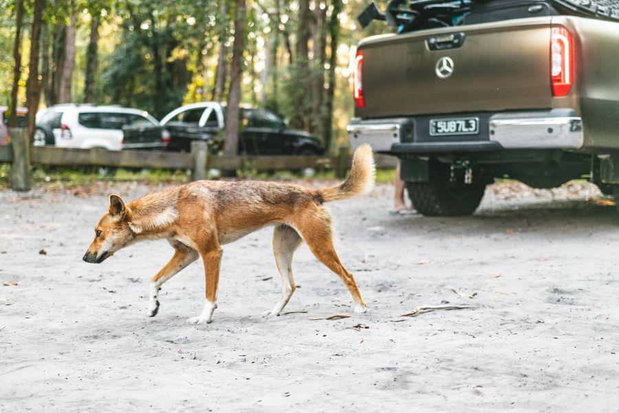 Wild Dingo on Fraser Island