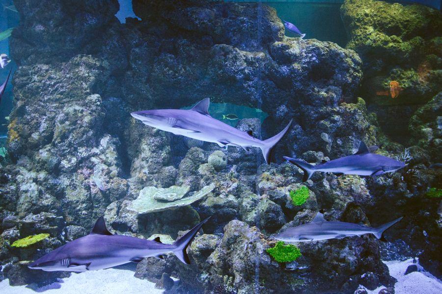 Group of sharks, Australia