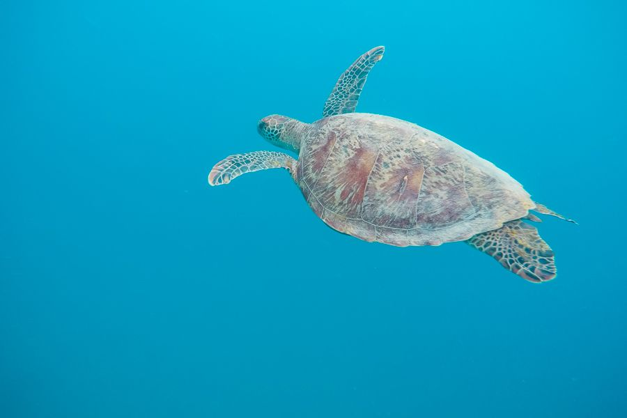 Green Sea Turtle Snorkelling in the Great Barrier Reef, Whitsunday Island