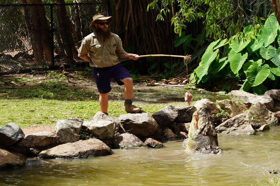 Saltwater crocodile feeding