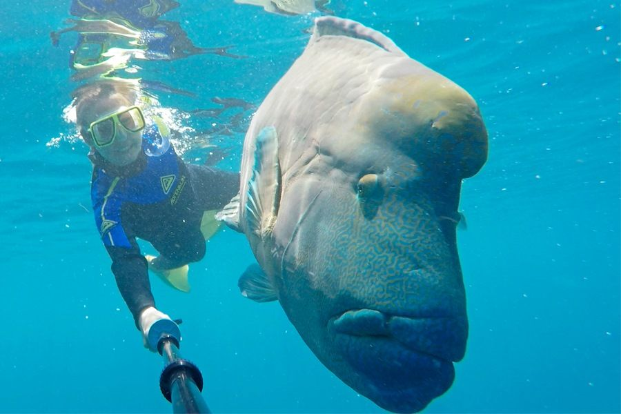 Maori Wrasse at Blue Pearl Bay, Snorkelling in the Great Barrier Reef Whitsunday Islands