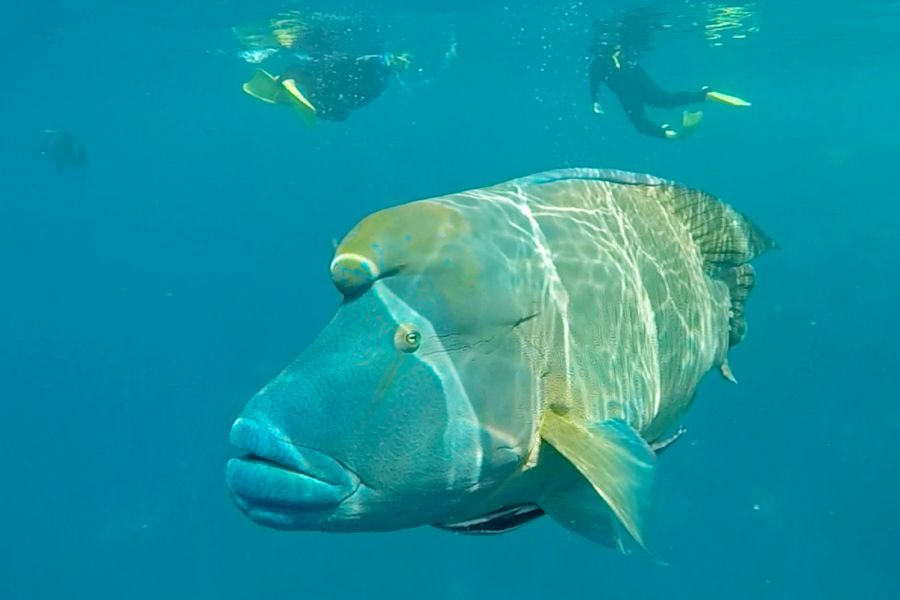 Maori Wrasse Mantaray Bay Whitsunday Islands in the Great Barrier Reef