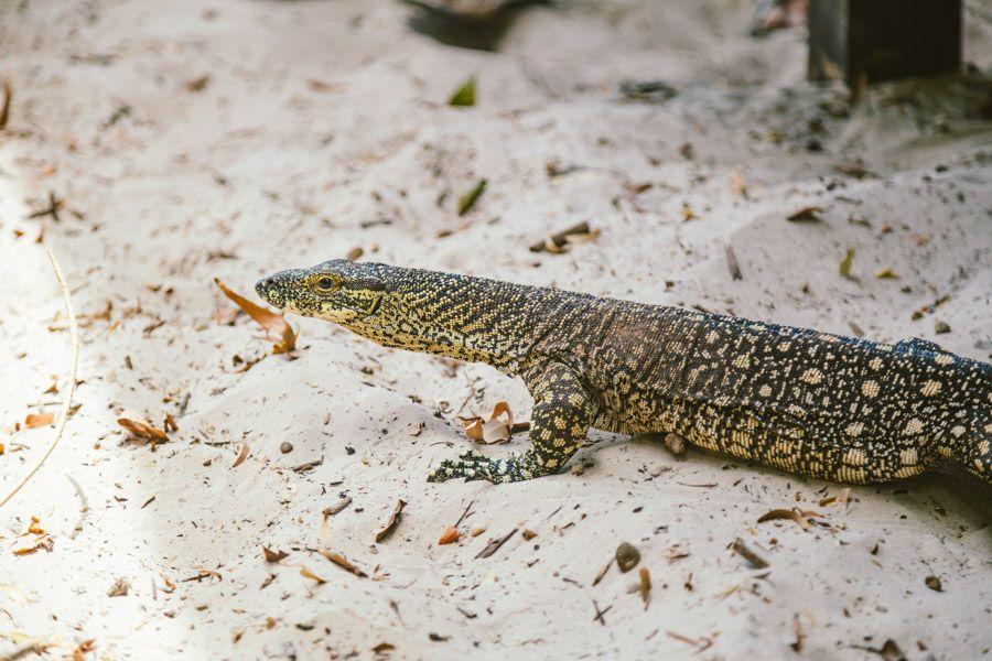 Lizard Hook Island native wildlife in the Whitsunday Islands
