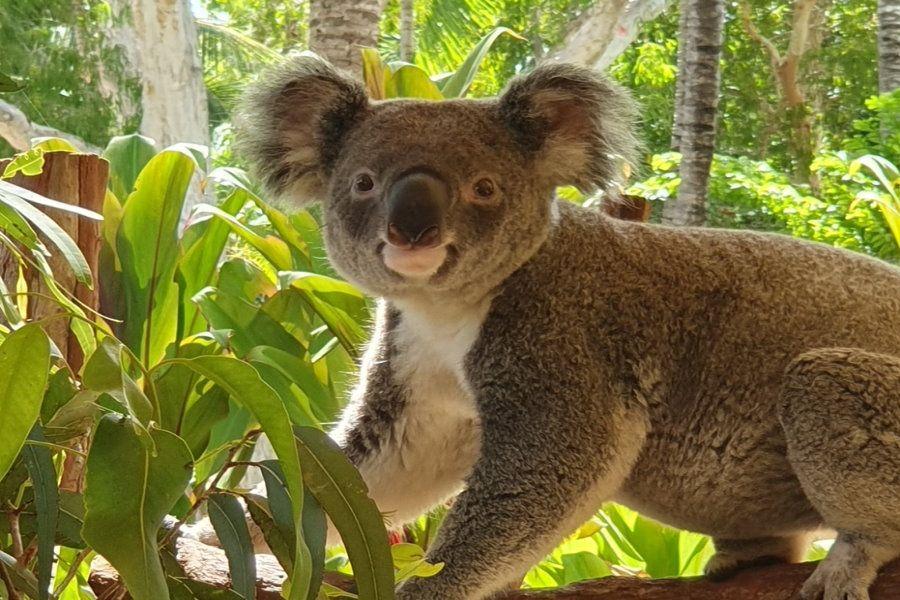 Breakfast with the koalas On hamilton Island
