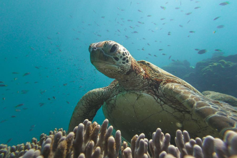 Green Sea Turtle in the Great Barrier Reef, famous Whitsunday Island snorkelling and scuba-diving