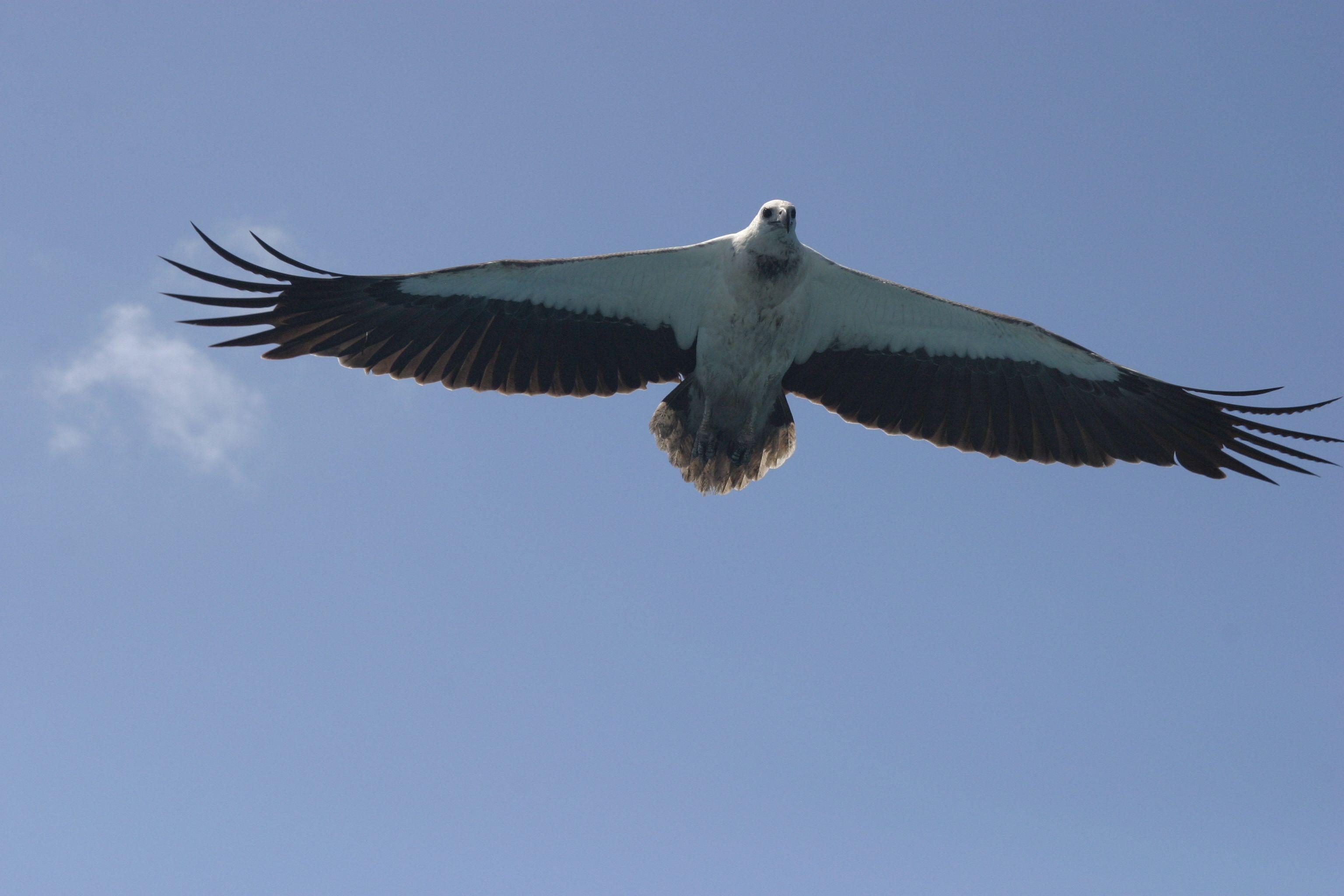 Sea Eagle Bird Watching Airlie Beach Free Things