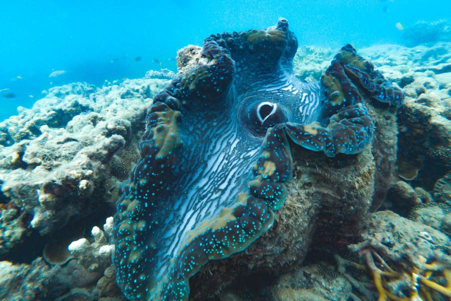 giant Clam Great Barrier Reef Heritage listed site