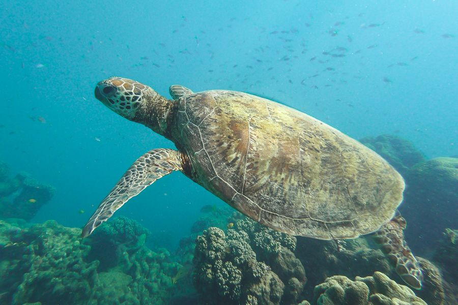 Great Barrier Reef Green Sea Turtle Nemo in real life