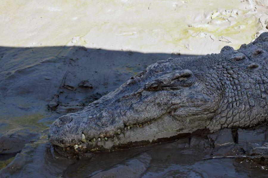 Airlie Beach Crocodile Sightings Proserpine River Whitsundays