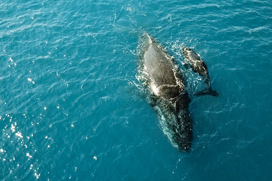 Whales off of Fraser Coast and Hervey Bay