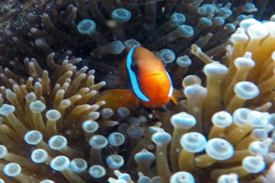 whitsunday clownfish