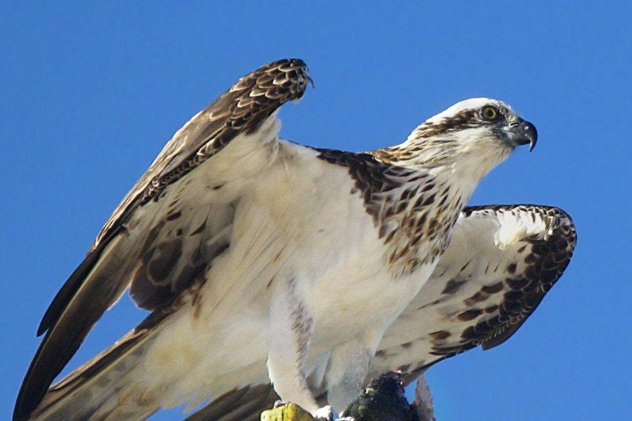 osprey Whitsunday